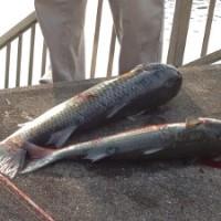 曽根干潟に注ぐ竹馬川で釣られたボラ