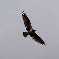 ミサゴ/猛禽類/竹馬川
