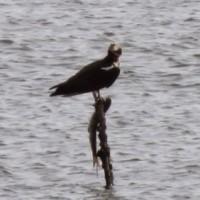 曽根干潟の棒の上のミサゴ