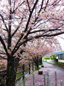 下吉田橋の桜