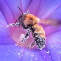 アサガオとミツバチ